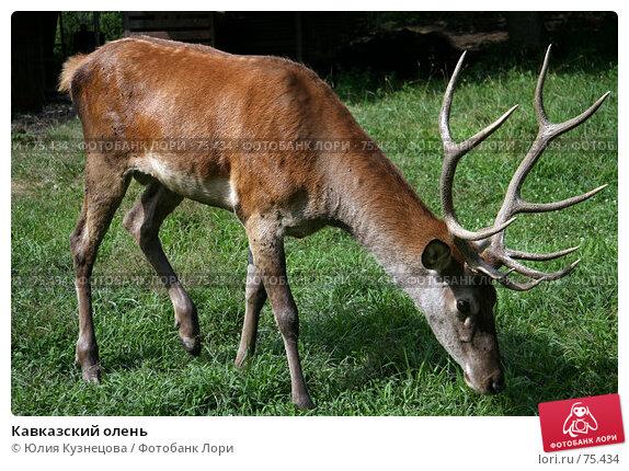 Купить «Кавказский олень», фото № 75434, снято 15 августа 2007 г. (c) Юлия Кузнецова / Фотобанк Лори