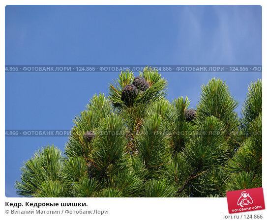 Кедр. Кедровые шишки., фото № 124866, снято 22 июля 2007 г. (c) Виталий Матонин / Фотобанк Лори