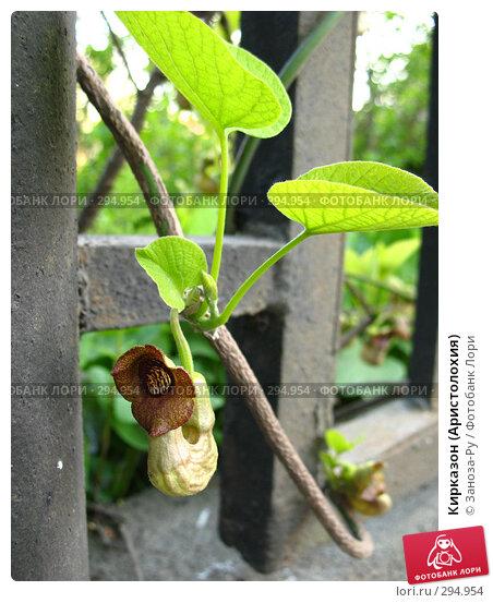 Кирказон (Аристолохия), фото № 294954, снято 17 мая 2008 г. (c) Заноза-Ру / Фотобанк Лори