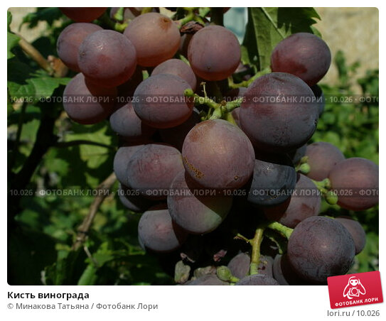 Кисть винограда, фото № 10026, снято 19 августа 2006 г. (c) Минакова Татьяна / Фотобанк Лори