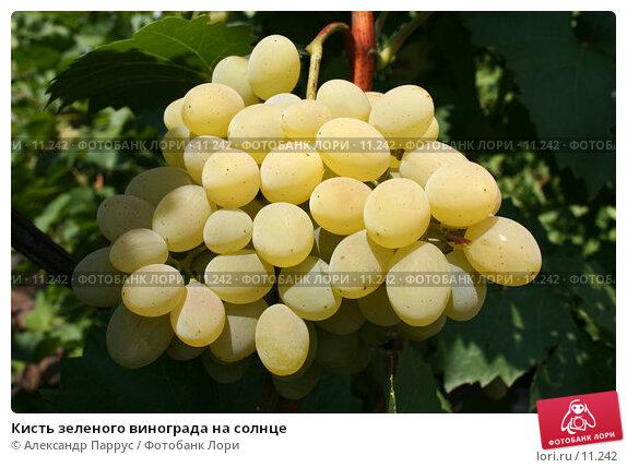 Кисть зеленого винограда на солнце, фото № 11242, снято 27 августа 2006 г. (c) Александр Паррус / Фотобанк Лори