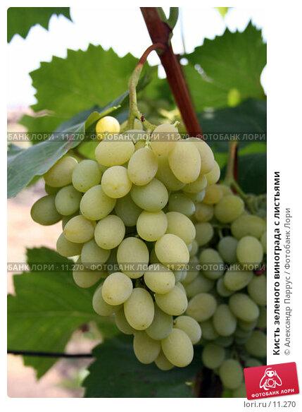 Кисть зеленого винограда с листьями, фото № 11270, снято 20 августа 2006 г. (c) Александр Паррус / Фотобанк Лори