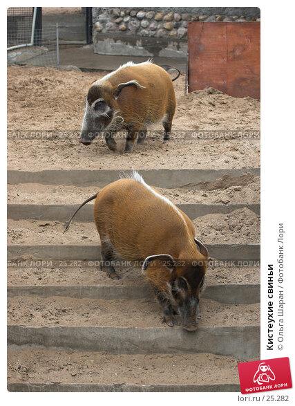 Кистеухие свиньи, фото № 25282, снято 25 июля 2006 г. (c) Ольга Шаран / Фотобанк Лори