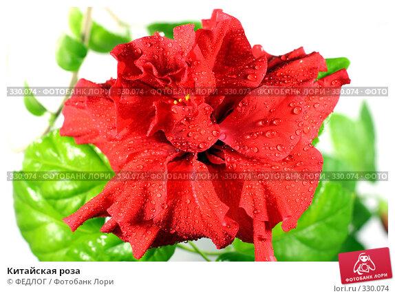Китайская роза, фото № 330074, снято 22 июня 2008 г. (c) ФЕДЛОГ.РФ / Фотобанк Лори
