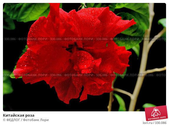 Китайская роза, фото № 330086, снято 22 июня 2008 г. (c) ФЕДЛОГ.РФ / Фотобанк Лори