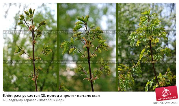 Клён распускается (2), конец апреля - начало мая, фото № 293246, снято 30 апреля 2008 г. (c) Владимир Тарасов / Фотобанк Лори