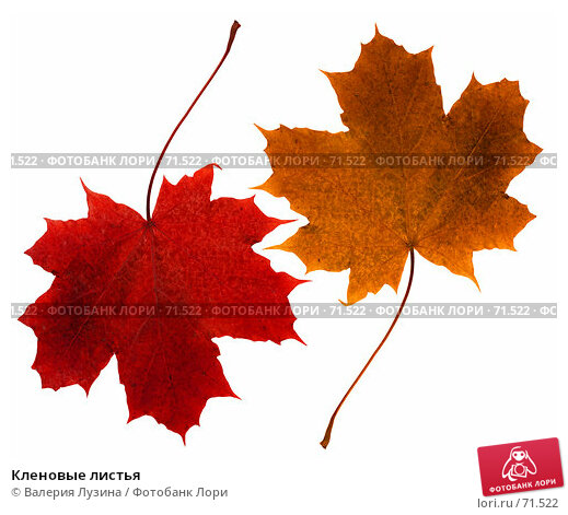 Кленовые листья, фото № 71522, снято 12 октября 2006 г. (c) Валерия Потапова / Фотобанк Лори