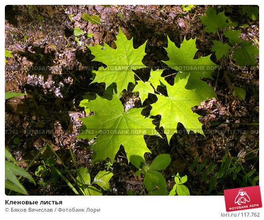 Купить «Кленовые листья», фото № 117762, снято 30 июня 2007 г. (c) Бяков Вячеслав / Фотобанк Лори