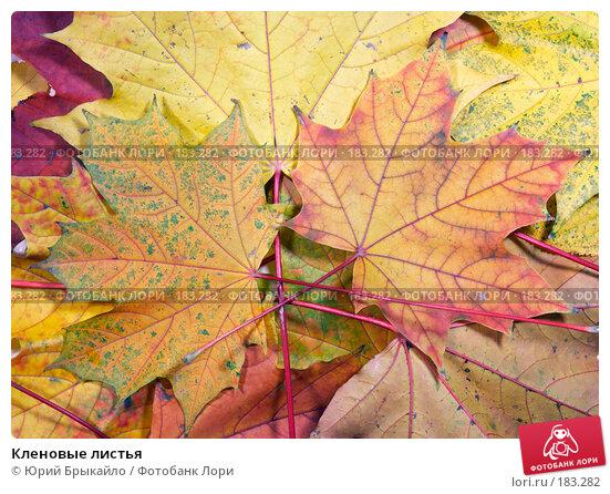 Кленовые листья, фото № 183282, снято 22 октября 2007 г. (c) Юрий Брыкайло / Фотобанк Лори