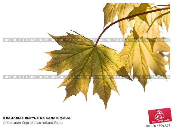 Купить «Кленовые листья на белом фоне», фото № 309378, снято 17 мая 2008 г. (c) Катыкин Сергей / Фотобанк Лори