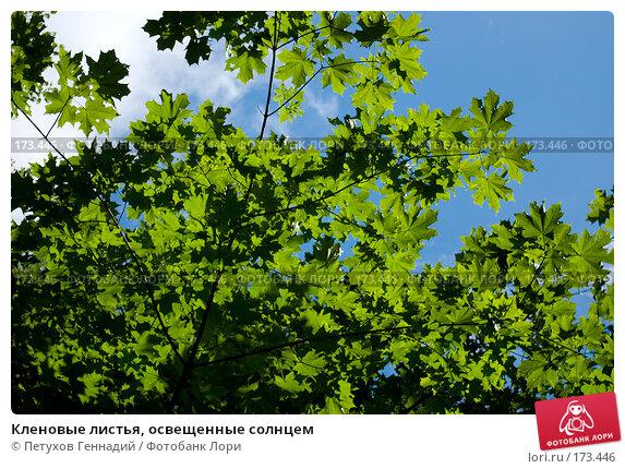 Кленовые листья, освещенные солнцем, фото № 173446, снято 15 июля 2007 г. (c) Петухов Геннадий / Фотобанк Лори