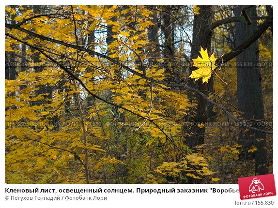"""Кленовый лист, освещенный солнцем. Природный заказник """"Воробьевы горы"""", фото № 155830, снято 27 октября 2007 г. (c) Петухов Геннадий / Фотобанк Лори"""
