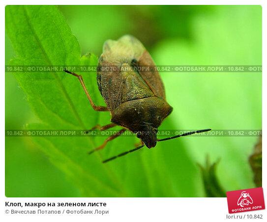 Клоп, макро на зеленом листе, фото № 10842, снято 22 мая 2004 г. (c) Вячеслав Потапов / Фотобанк Лори
