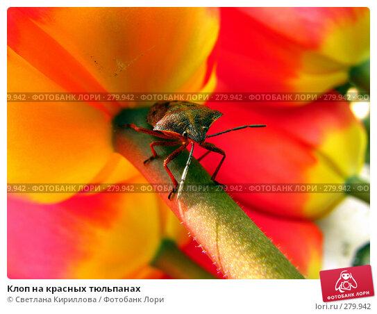 Клоп на красных тюльпанах, фото № 279942, снято 29 апреля 2008 г. (c) Светлана Кириллова / Фотобанк Лори