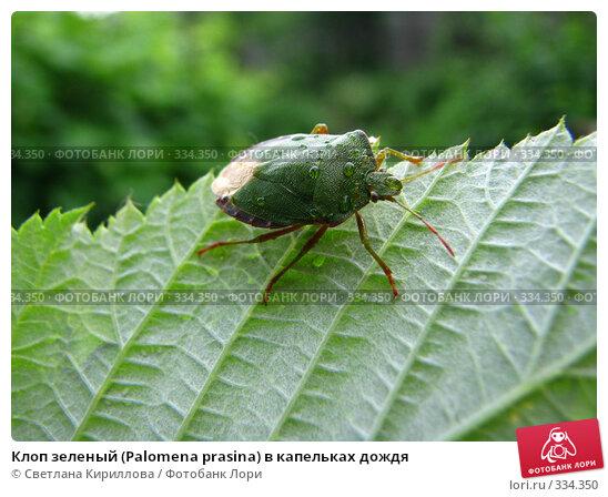 Клоп зеленый (Palomena prasina) в капельках дождя, фото № 334350, снято 24 июня 2008 г. (c) Светлана Кириллова / Фотобанк Лори