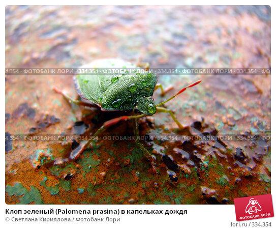 Клоп зеленый (Palomena prasina) в капельках дождя, фото № 334354, снято 24 июня 2008 г. (c) Светлана Кириллова / Фотобанк Лори