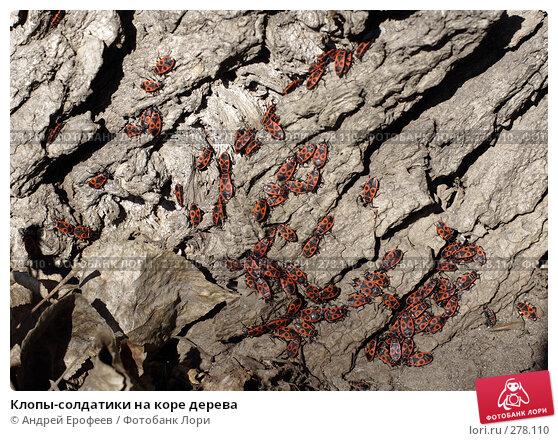 Купить «Клопы-солдатики на коре дерева», фото № 278110, снято 9 апреля 2008 г. (c) Андрей Ерофеев / Фотобанк Лори