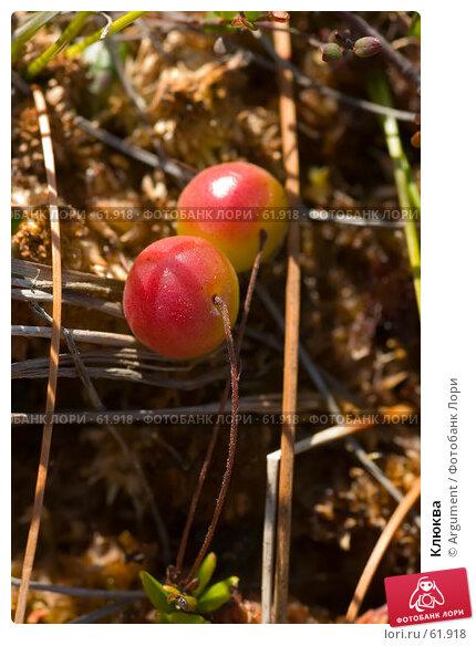 Клюква, фото № 61918, снято 10 августа 2006 г. (c) Argument / Фотобанк Лори