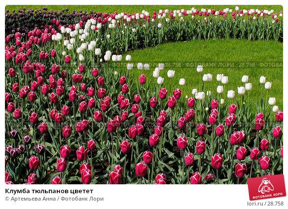 Клумба тюльпанов цветет, фото № 28758, снято 25 мая 2017 г. (c) Артемьева Анна / Фотобанк Лори