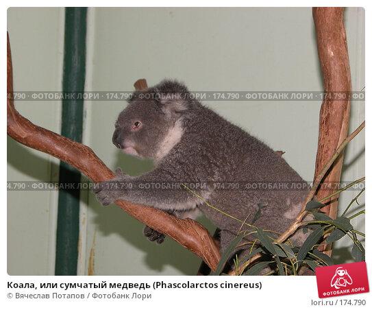 Коала, или сумчатый медведь (Phascolarctos cinereus), фото № 174790, снято 11 октября 2006 г. (c) Вячеслав Потапов / Фотобанк Лори