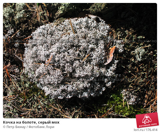 Кочка на болоте, серый мох, фото № 176414, снято 29 августа 2003 г. (c) Петр Бюнау / Фотобанк Лори