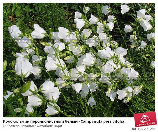 Колокольчик персиколистный белый - Campanula persicifolia, фото № 200234, снято 11 июля 2006 г. (c) Беляева Наталья / Фотобанк Лори