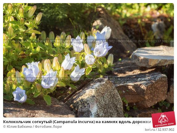 Купить «Колокольчик согнутый (Campanula incurva) на камнях вдоль дорожки в саду», фото № 32937902, снято 12 июля 2018 г. (c) Юлия Бабкина / Фотобанк Лори