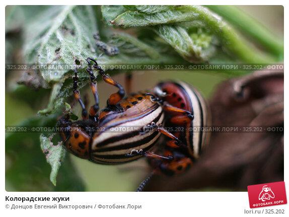 Колорадские жуки, фото № 325202, снято 16 августа 2007 г. (c) Донцов Евгений Викторович / Фотобанк Лори