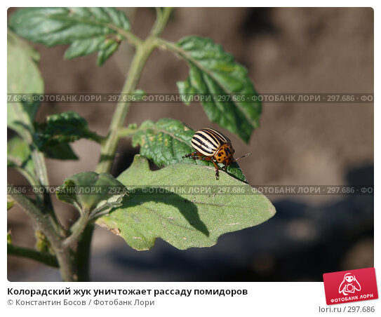 Колорадский жук уничтожает рассаду помидоров, фото № 297686, снято 25 апреля 2017 г. (c) Константин Босов / Фотобанк Лори