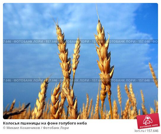 Колосья пшеницы на фоне голубого неба, фото № 157646, снято 28 августа 2007 г. (c) Михаил Коханчиков / Фотобанк Лори