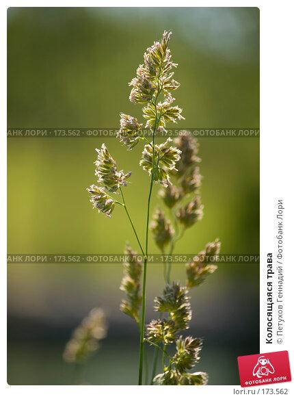 Колосящаяся трава, фото № 173562, снято 12 июня 2007 г. (c) Петухов Геннадий / Фотобанк Лори