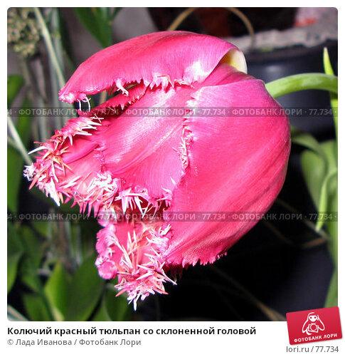 Колючий красный тюльпан со склоненной головой, фото № 77734, снято 8 марта 2007 г. (c) Лада Иванова / Фотобанк Лори