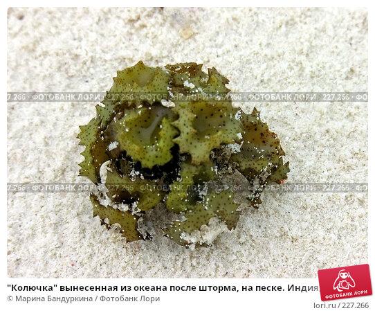 """""""Колючка"""" вынесенная из океана после шторма, на песке. Индия,  Лакшадипские острова, фото № 227266, снято 25 ноября 2005 г. (c) Марина Бандуркина / Фотобанк Лори"""