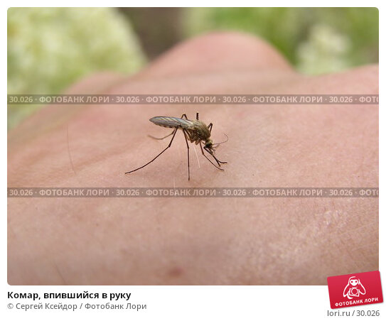 Комар, впившийся в руку, фото № 30026, снято 4 июня 2006 г. (c) Сергей Ксейдор / Фотобанк Лори