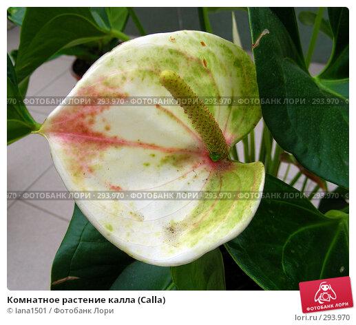 Комнатное растение калла (Calla), эксклюзивное фото № 293970, снято 16 апреля 2008 г. (c) lana1501 / Фотобанк Лори