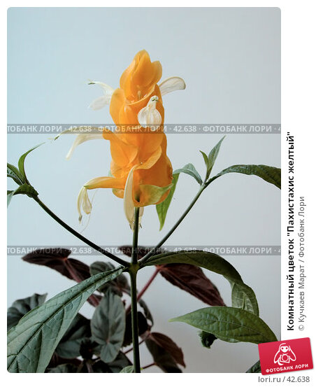 """Купить «Комнатный цветок """"Пахистахис желтый""""», фото № 42638, снято 7 мая 2007 г. (c) Кучкаев Марат / Фотобанк Лори"""