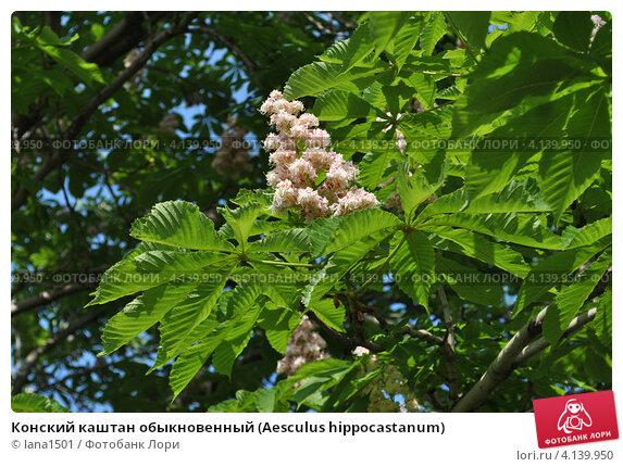 Купить «Конский каштан обыкновенный (Aesculus hippocastanum)», эксклюзивное фото № 4139950, снято 21 мая 2012 г. (c) lana1501 / Фотобанк Лори