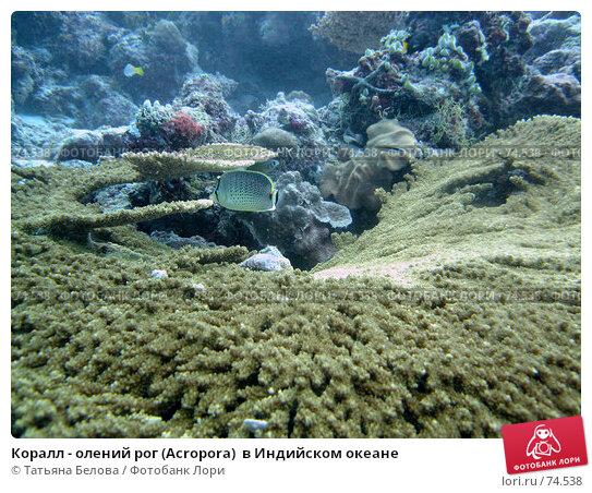 Коралл - олений рог (Acropora)  в Индийском океане, фото № 74538, снято 25 ноября 2006 г. (c) Татьяна Белова / Фотобанк Лори