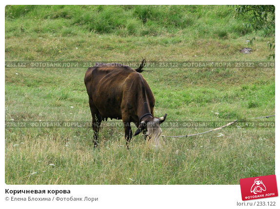Коричневая корова, фото № 233122, снято 13 июля 2007 г. (c) Елена Блохина / Фотобанк Лори