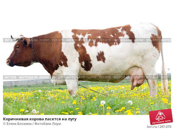 Коричневая корова пасется на лугу, фото № 297070, снято 21 мая 2008 г. (c) Елена Блохина / Фотобанк Лори
