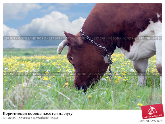 Купить «Коричневая корова пасется на лугу», фото № 297078, снято 21 мая 2008 г. (c) Елена Блохина / Фотобанк Лори