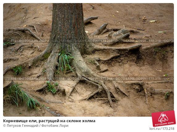 Купить «Корневище ели, растущей на склоне холма», фото № 173218, снято 8 июля 2007 г. (c) Петухов Геннадий / Фотобанк Лори