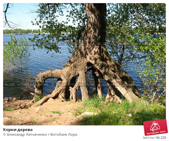 Купить «Корни дерева», фото № 46230, снято 15 мая 2007 г. (c) Александр Литовченко / Фотобанк Лори
