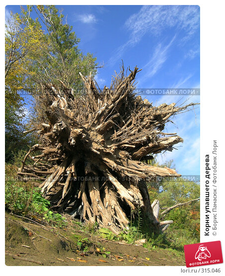 Корни упавшего дерева, фото № 315046, снято 21 сентября 2004 г. (c) Борис Панасюк / Фотобанк Лори