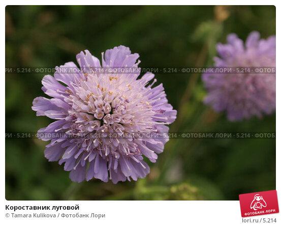 Купить «Короставник луговой», фото № 5214, снято 6 июля 2006 г. (c) Tamara Kulikova / Фотобанк Лори