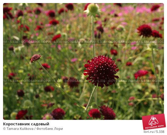 Короставник садовый , фото № 5338, снято 1 июля 2006 г. (c) Tamara Kulikova / Фотобанк Лори