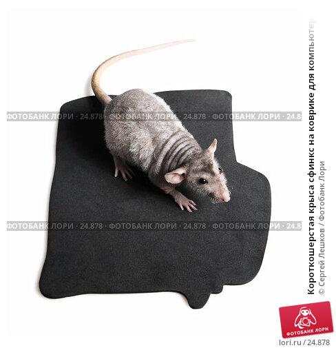 Купить «Короткошерстая крыса сфинкс на коврике для компьютерной мыши», фото № 24878, снято 18 марта 2007 г. (c) Сергей Лешков / Фотобанк Лори