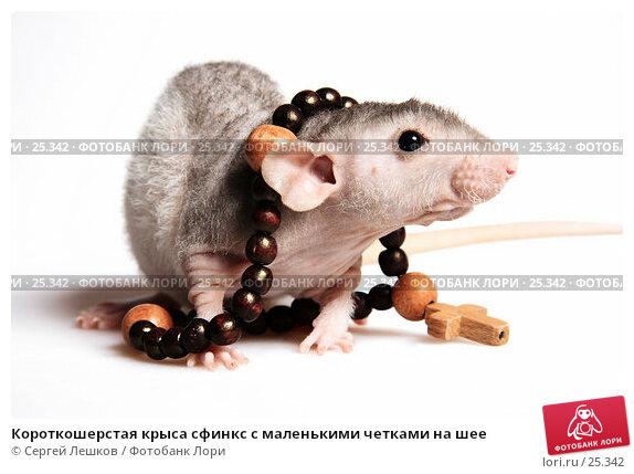 Короткошерстая крыса сфинкс с маленькими четками на шее, фото № 25342, снято 18 марта 2007 г. (c) Сергей Лешков / Фотобанк Лори