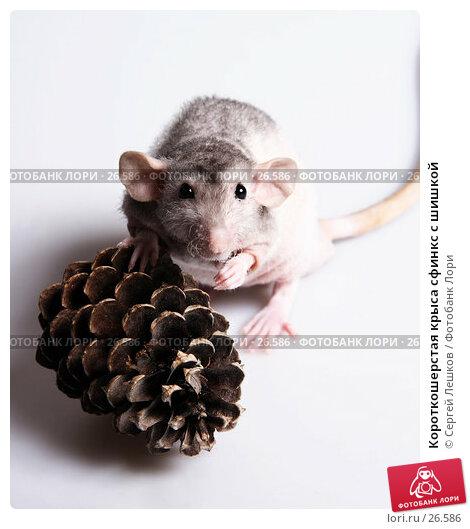 Короткошерстая крыса сфинкс с шишкой, фото № 26586, снято 18 марта 2007 г. (c) Сергей Лешков / Фотобанк Лори