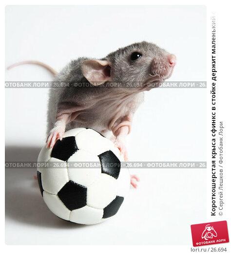 Короткошерстая крыса сфинкс в стойке держит маленький футбольный мячик лапками, фото № 26694, снято 18 марта 2007 г. (c) Сергей Лешков / Фотобанк Лори